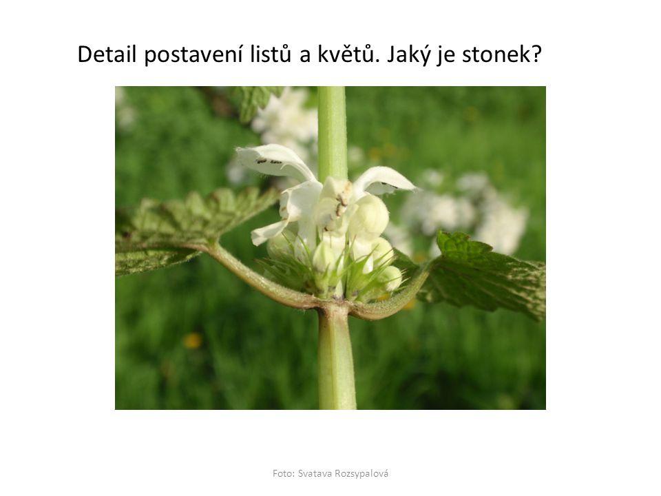 Detail postavení listů a květů. Jaký je stonek? Foto: Svatava Rozsypalová