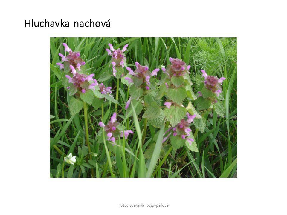 Hluchavka nachová
