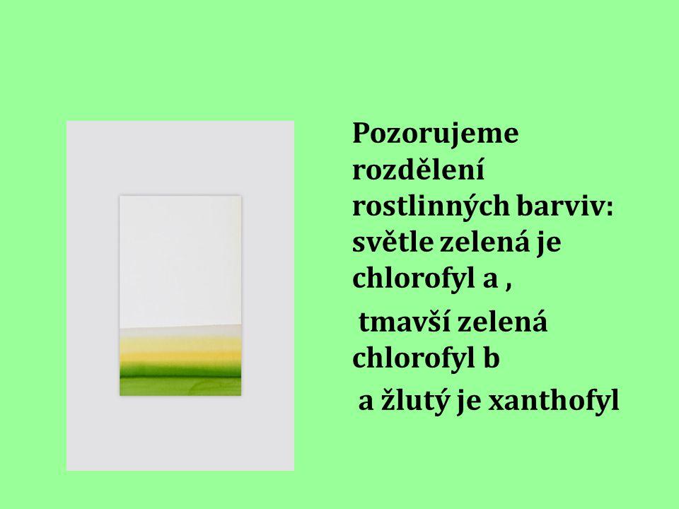Pozorujeme rozdělení rostlinných barviv: světle zelená je chlorofyl a, tmavší zelená chlorofyl b a žlutý je xanthofyl