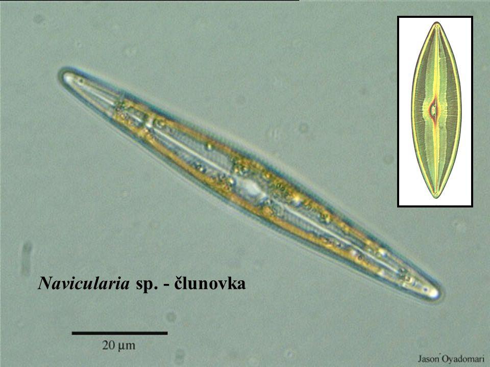 Navicularia sp. - člunovka
