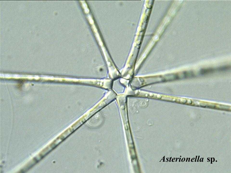 Asterionella sp.