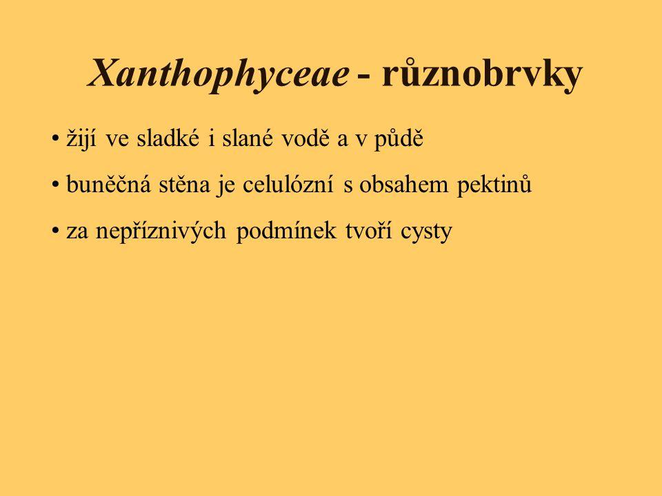 Xanthophyceae - různobrvky žijí ve sladké i slané vodě a v půdě buněčná stěna je celulózní s obsahem pektinů za nepříznivých podmínek tvoří cysty