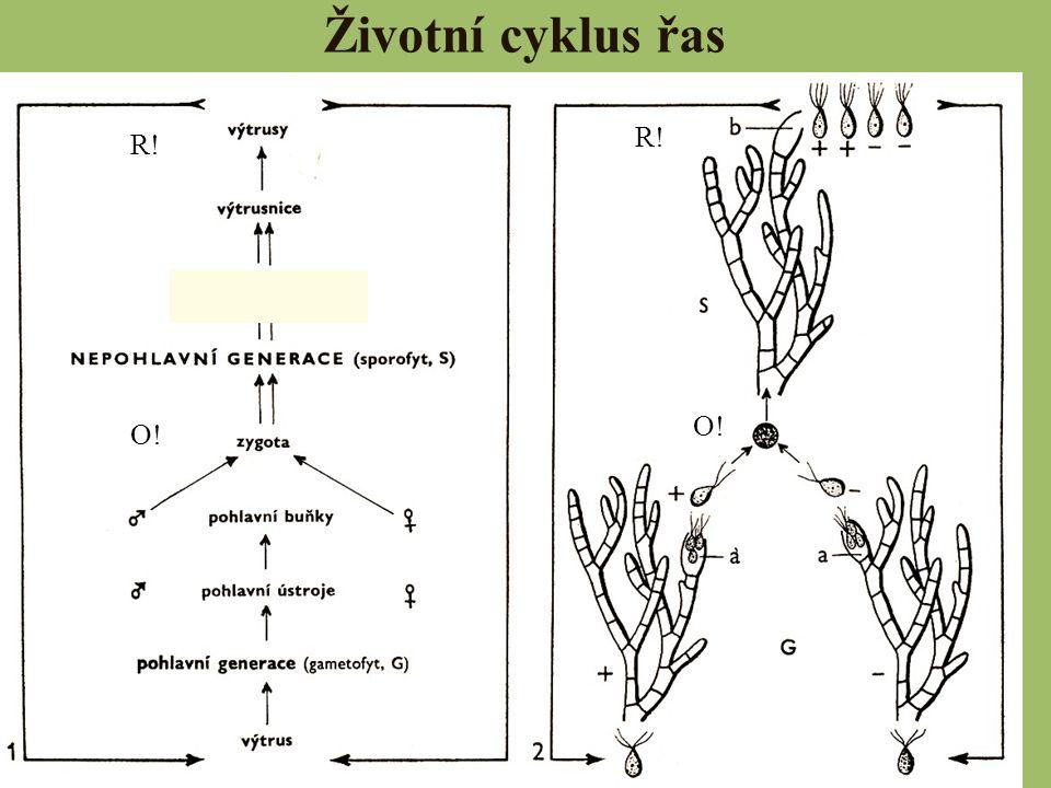 CHLOROPHYTA – zelené řasy třídy: Zelenivky (Chlorophyceae) Trubicovky (Bryopsidophyceae) Spájivky (Conjugatophyceae) Parožnatky (Charophyceae)
