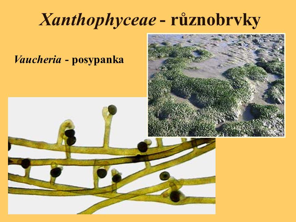 Xanthophyceae - různobrvky Vaucheria - posypanka