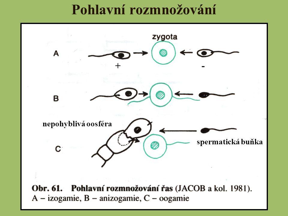třída: Zelenivky (Chlorophyceae)