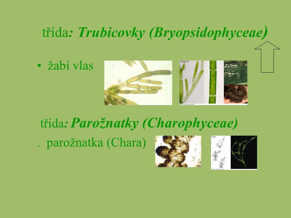 třída: Trubicovky (Bryopsidophyceae ) žabí vlas třída: Parožnatky (Charophyceae). parožnatka (Chara)