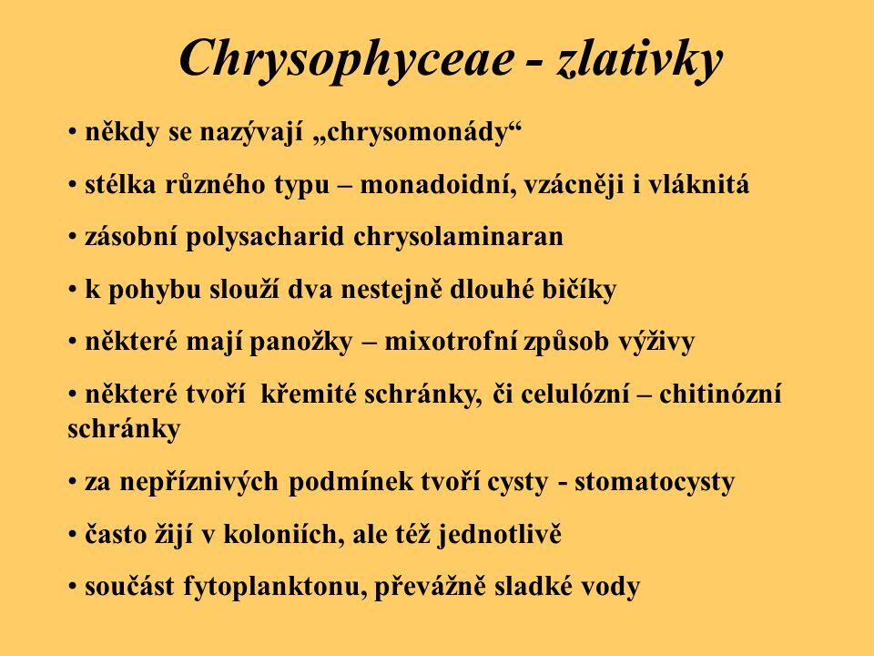 Chrysophyceae - zlativky Synura uvella