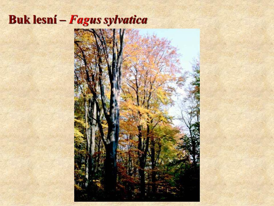 Buk lesní – Fagus sylvatica