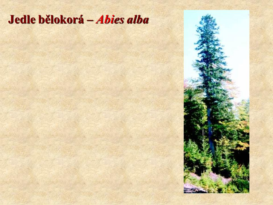 Smrk ztepilý – Picea abies Koncovky: CMŠ systém: -etea, -etalia, -ion, -etum Geobiocenologický systém: -eta, (+ další koncovky dle latinského skloňování) Rozšíření v Evropě: - Evropská pohoří, severní Evropa (dřevina boreálního jehličnatého lesa) Rozšíření v ČR: - vyšší pohoří Potenciální zastoupení11,2 % Aktuální zastoupení52 % Věk400 Výška50 Ekologie: - světlomilná dřevina snášející zástin, zastiňuje půdní povrch, - dobré šíření, schopnost hřížení, - mělký kořenový systém - značné nároky na vláhu, snese i podmáčené až rašelinné půdy, - nenáročný na obsah živin v půdě, - poškozována větrem, lýkožroutem, imisemi