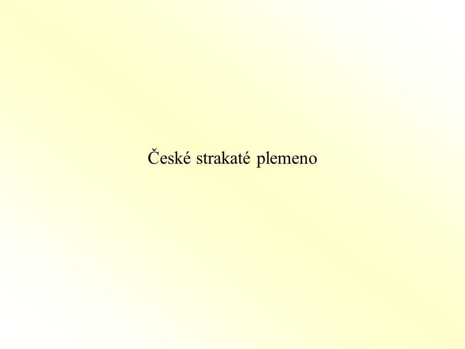 České strakaté plemeno