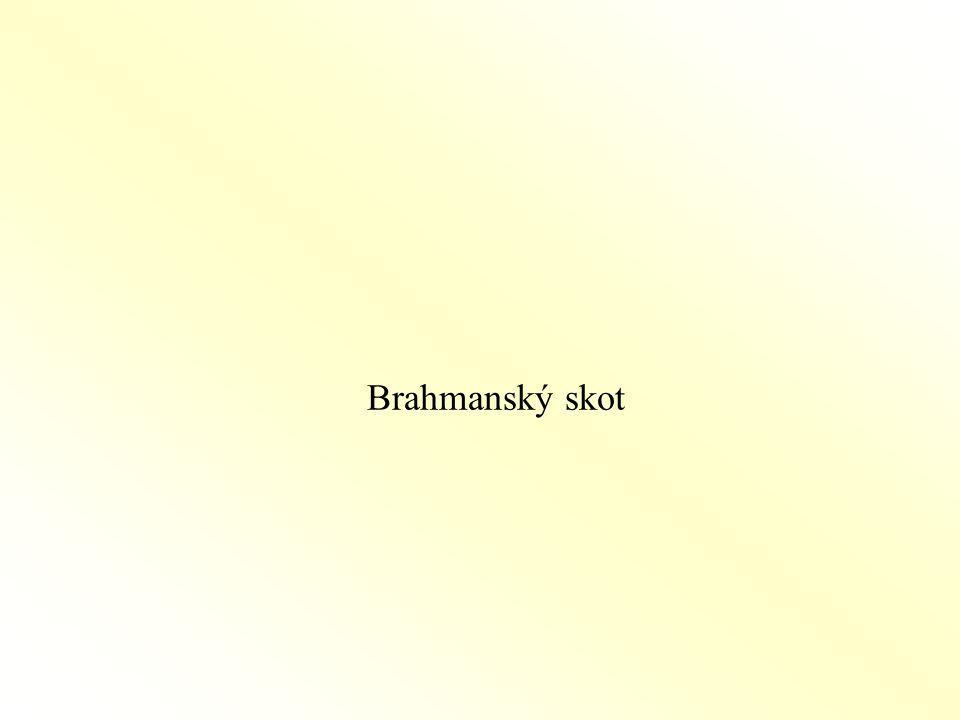 Brahmanský skot