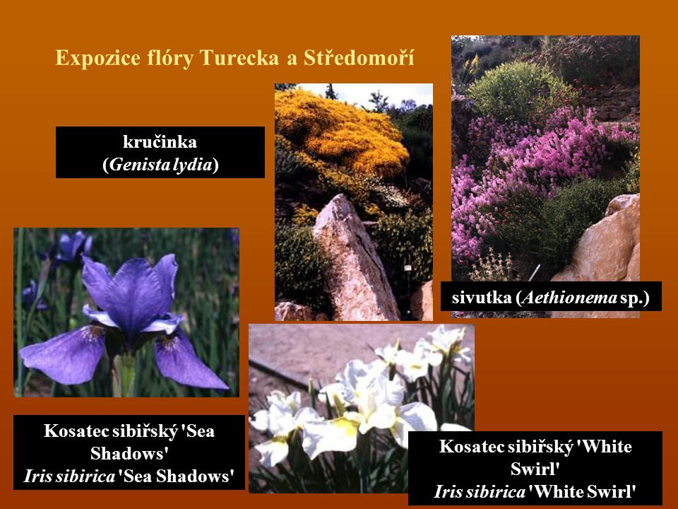 Expozice flóry Turecka a Středomoří kručinka (Genista lydia) sivutka (Aethionema sp.) Kosatec sibiřský 'Sea Shadows' Iris sibirica 'Sea Shadows' Kosat