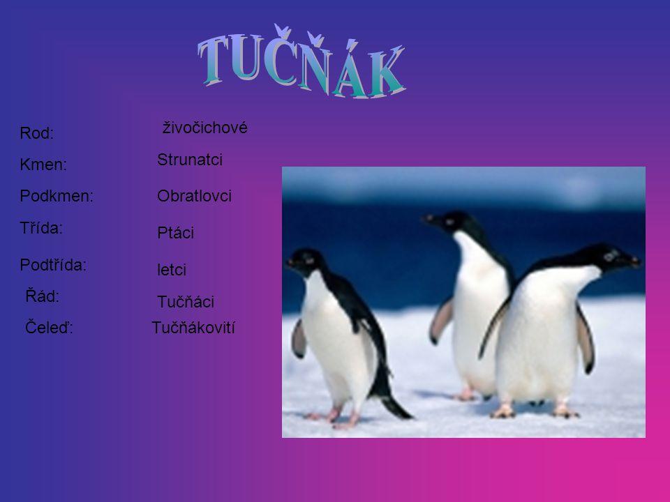 Rod: Kmen: Podkmen: Třída: Podtřída: Řád: Čeleď: živočichové Strunatci Obratlovci Ptáci letci Tučňáci Tučňákovití