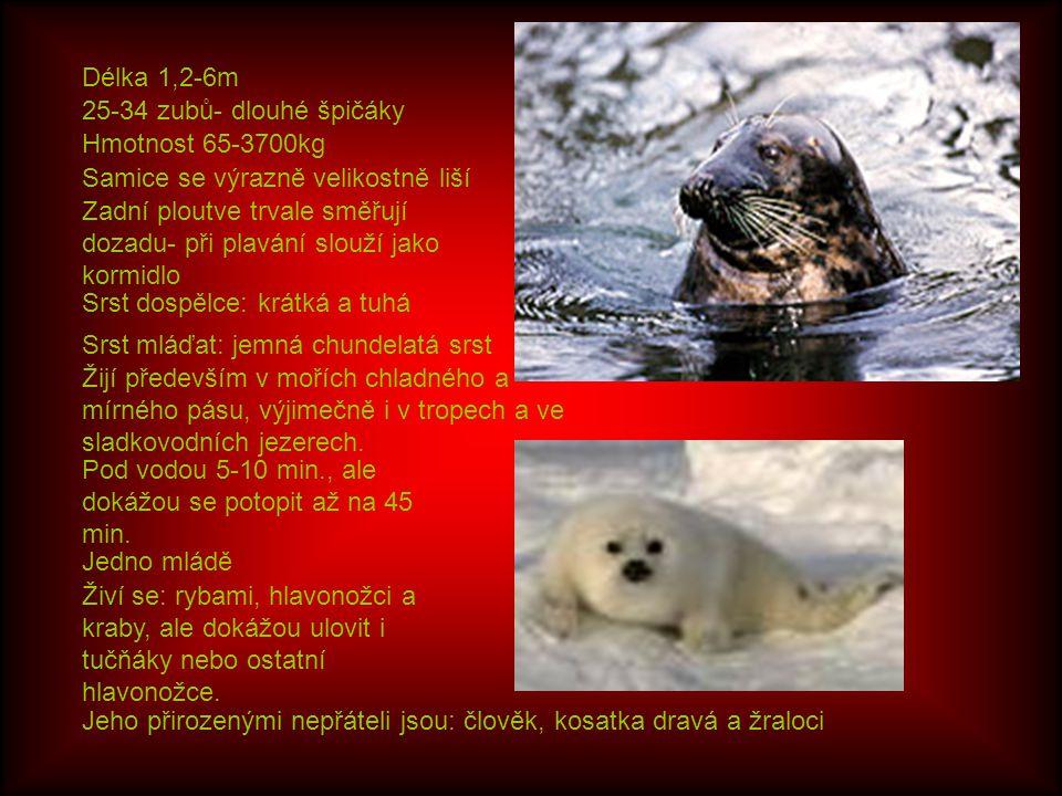 Délka 1,2-6m Hmotnost 65-3700kg Samice se výrazně velikostně liší Zadní ploutve trvale směřují dozadu- při plavání slouží jako kormidlo 25-34 zubů- dlouhé špičáky Srst dospělce: krátká a tuhá Srst mláďat: jemná chundelatá srst Žijí především v mořích chladného a mírného pásu, výjimečně i v tropech a ve sladkovodních jezerech.