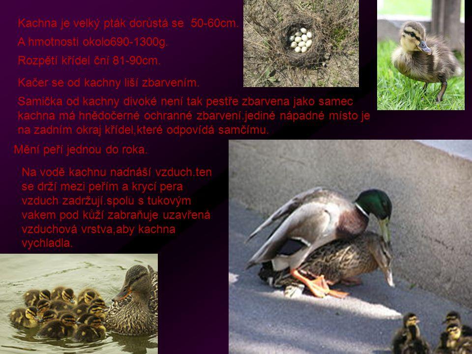 Kachna je velký pták dorůstá se 50-60cm.A hmotnosti okolo690-1300g.