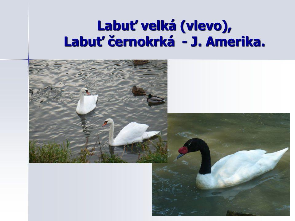 Další druhy vodních ptáků: Znaky: živí se rybami živí se rybami často se potápí často se potápí plovací blány mezi prsty plovací blány mezi prsty tažní tažníDruhy: Potápky - POTÁPKA roháč Potápky - POTÁPKA roháč Veslonozí – KORMORÁN, PELIKÁN (delta Dunaje) Veslonozí – KORMORÁN, PELIKÁN (delta Dunaje) Dlouhokřídlí – RACEK chechtavý, RYBÁK Dlouhokřídlí – RACEK chechtavý, RYBÁK