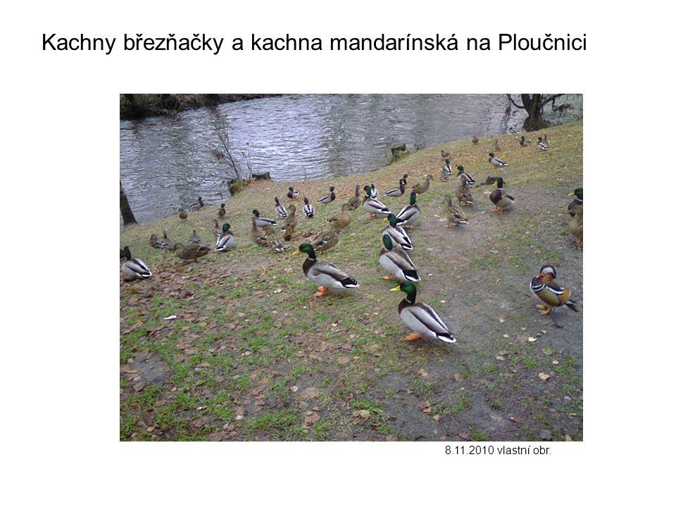 Kachny březňačky a kachna mandarínská na Ploučnici 8.11.2010 vlastní obr.