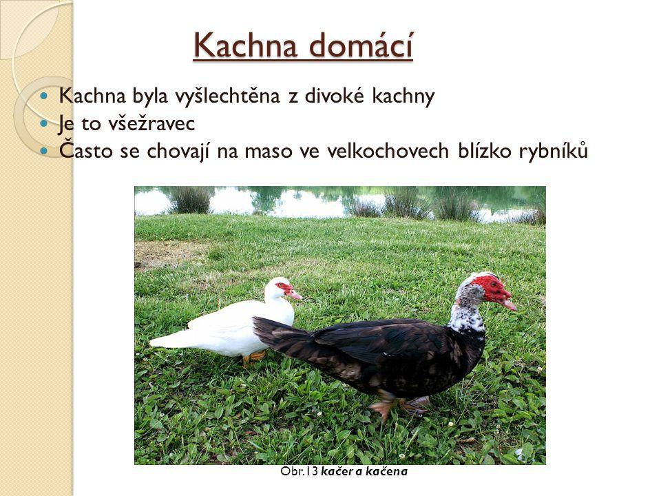 Kachna domácí Kachna byla vyšlechtěna z divoké kachny Je to všežravec Často se chovají na maso ve velkochovech blízko rybníků Obr.13 kačer a kačena