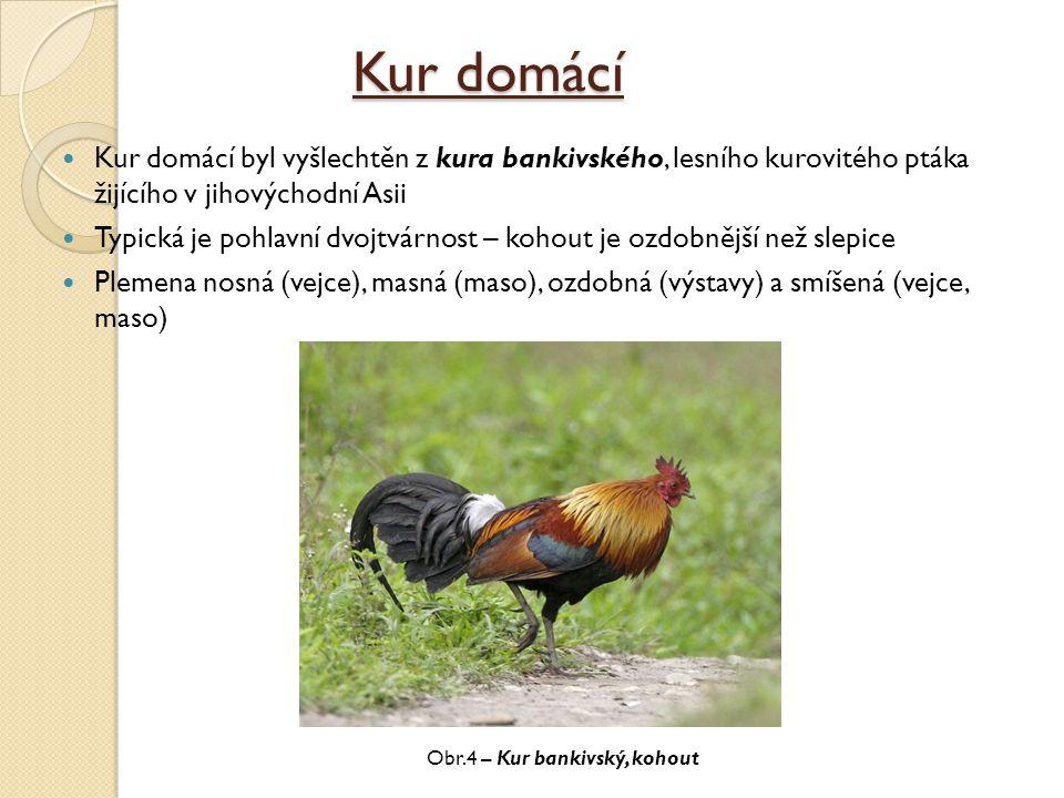 Kur domácí Kur domácí byl vyšlechtěn z kura bankivského, lesního kurovitého ptáka žijícího v jihovýchodní Asii Typická je pohlavní dvojtvárnost – koho