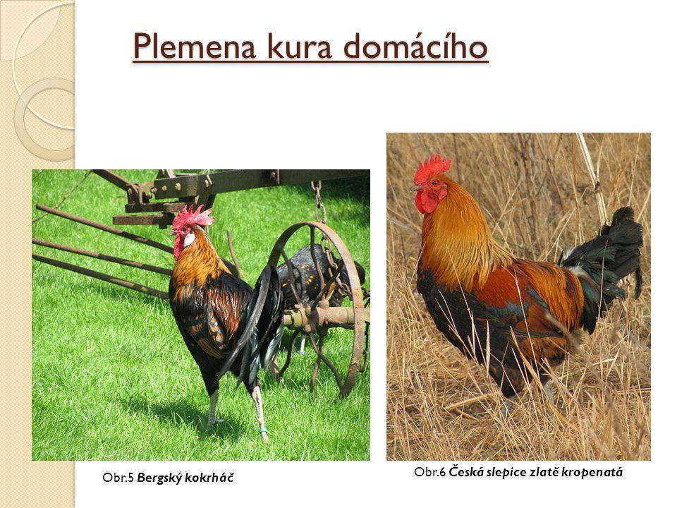 Plemena kura domácího Obr.5 Bergský kokrháč Obr.6 Česká slepice zlatě kropenatá