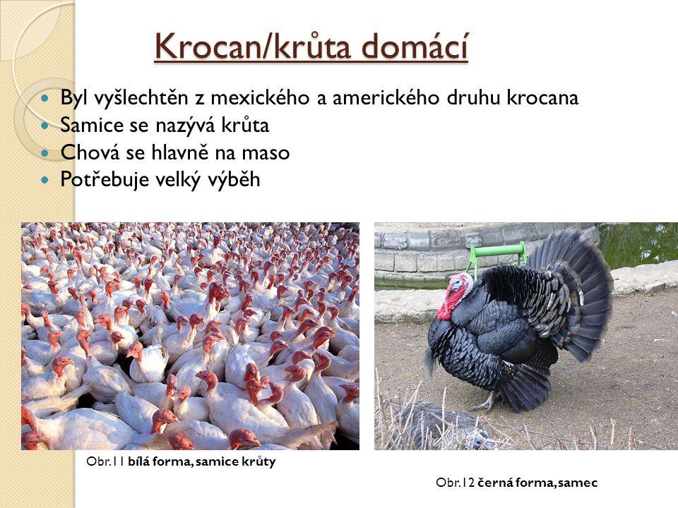 Krocan/krůta domácí Byl vyšlechtěn z mexického a amerického druhu krocana Samice se nazývá krůta Chová se hlavně na maso Potřebuje velký výběh Obr.12