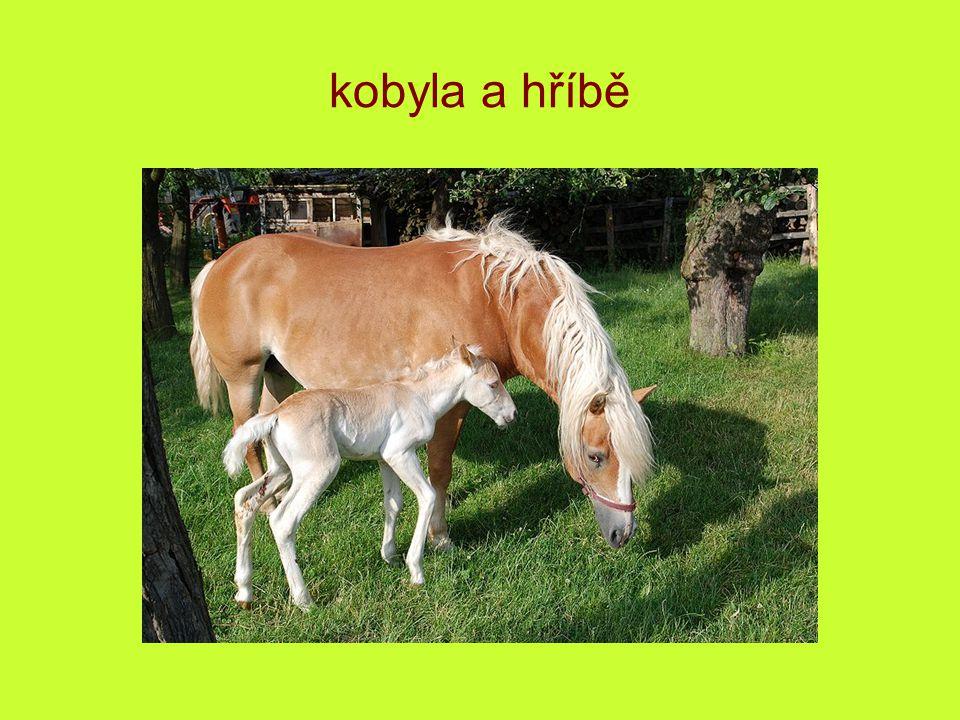 kobyla a hříbě