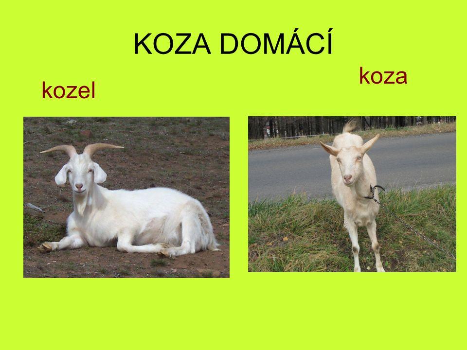 KOZA DOMÁCÍ kozel koza