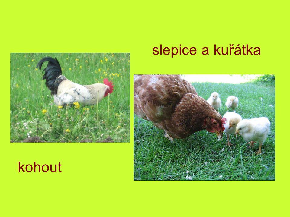 slepice a kuřátka kuřata kohout