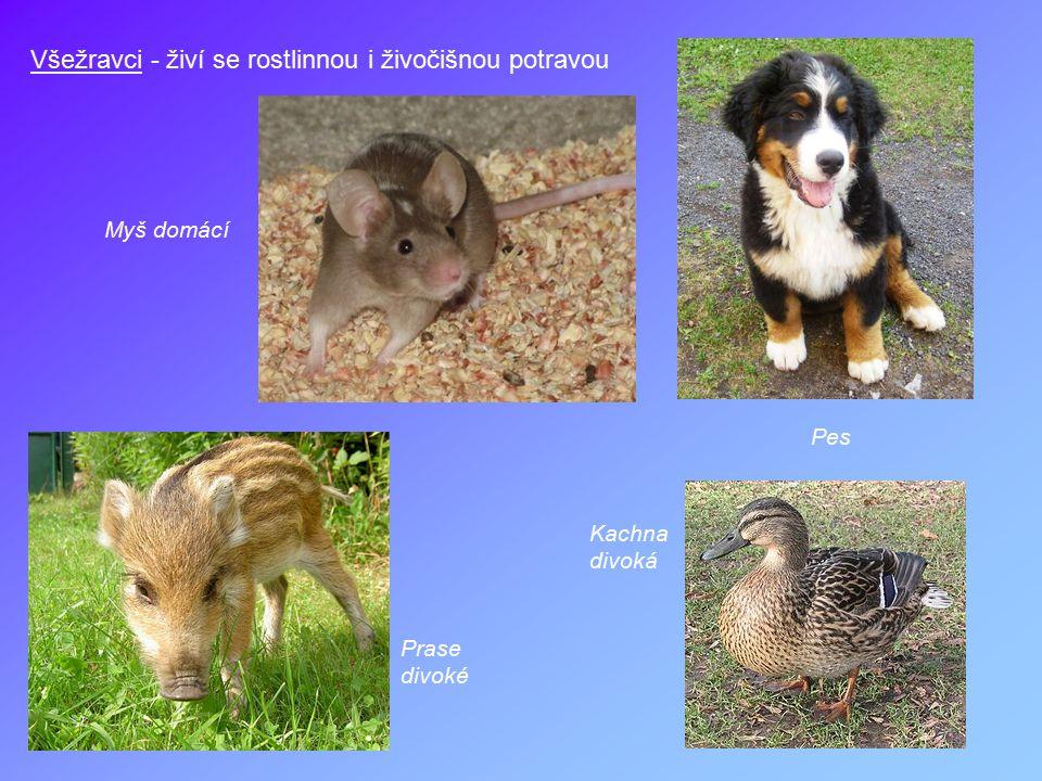 Všežravci - živí se rostlinnou i živočišnou potravou Pes Myš domácí Kachna divoká Prase divoké