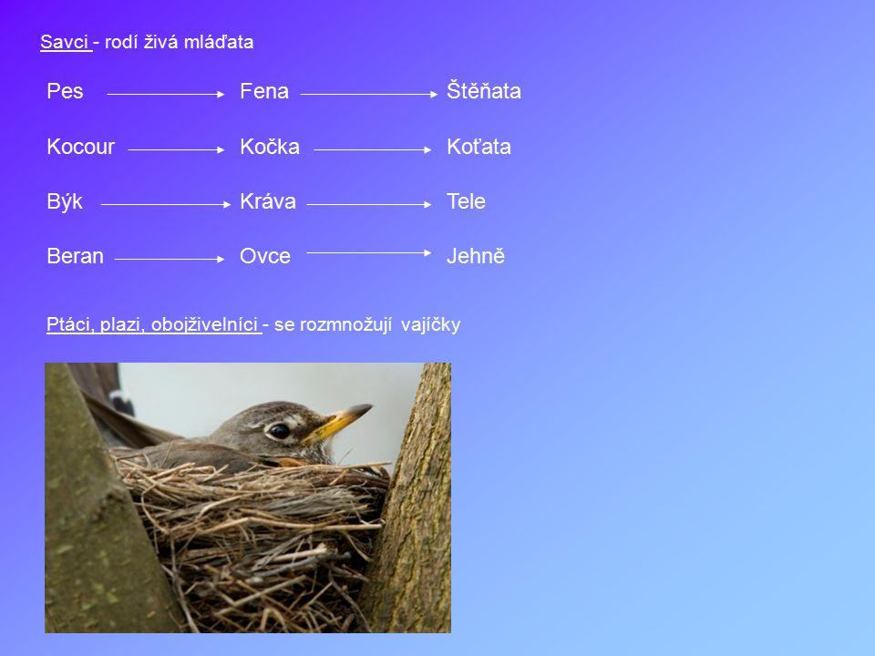 Savci - rodí živá mláďata PesFenaŠtěňata KocourKočkaKoťata BýkKrávaTele BeranOvceJehně Ptáci, plazi, obojživelníci - se rozmnožují vajíčky