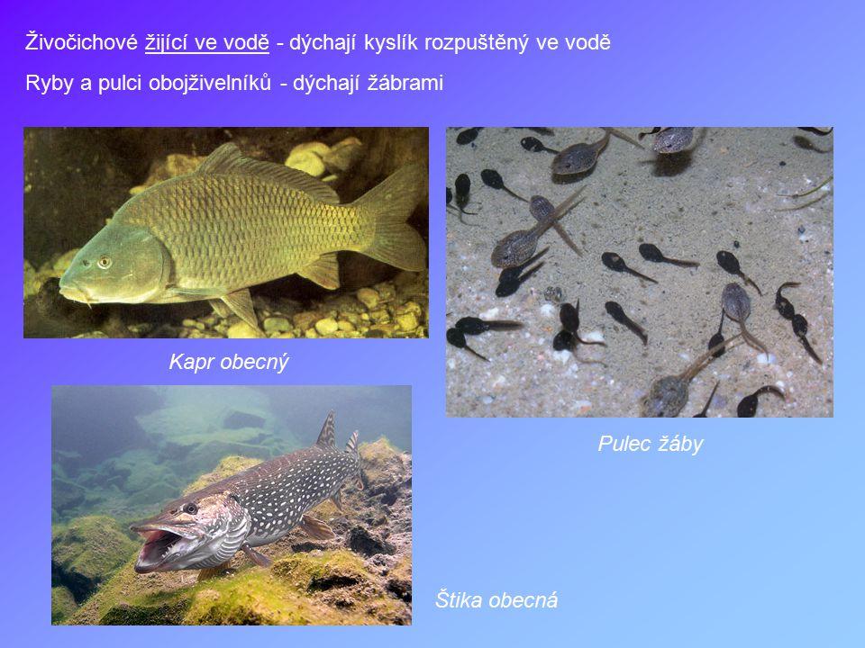 Živočichové žijící ve vodě - dýchají kyslík rozpuštěný ve vodě Ryby a pulci obojživelníků - dýchají žábrami Kapr obecný Štika obecná Pulec žáby
