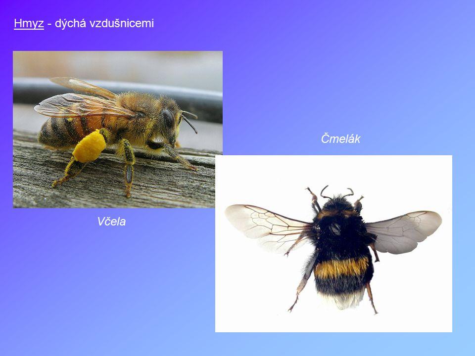 Hmyz - dýchá vzdušnicemi Včela Čmelák