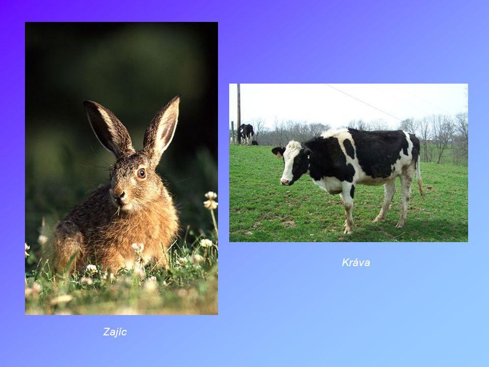Zajíc Kráva