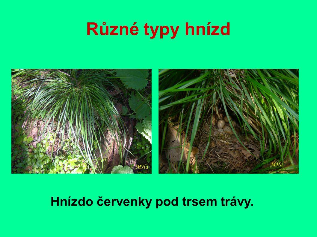 Různé typy hnízd Hnízdo červenky pod trsem trávy.