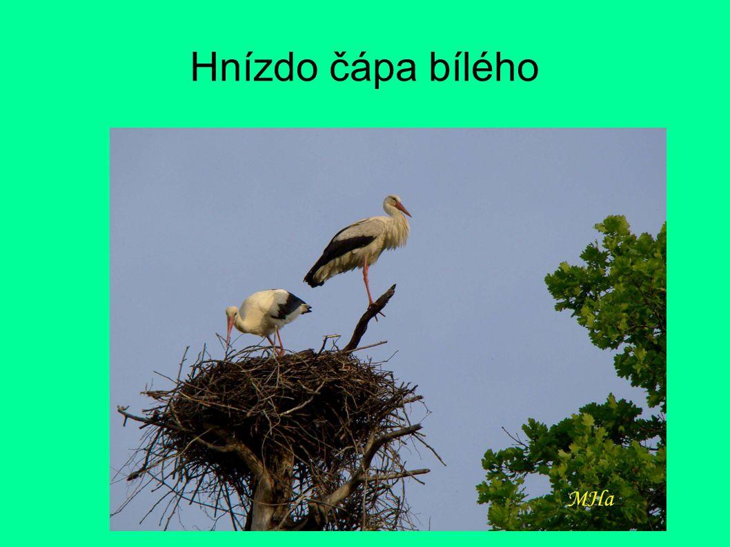 Hnízdo čápa bílého