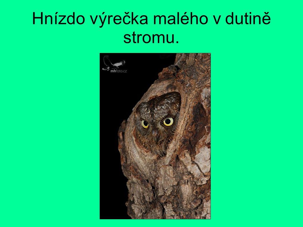 Hnízdo výrečka malého v dutině stromu.