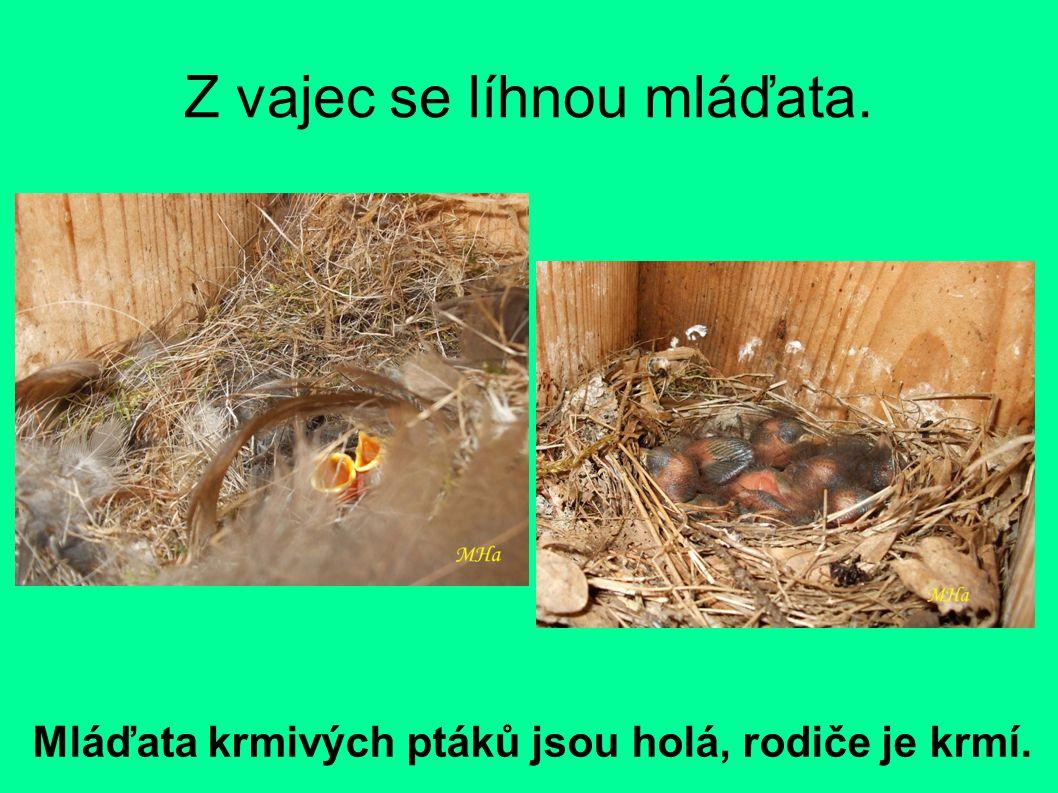 Z vajec se líhnou mláďata. Mláďata krmivých ptáků jsou holá, rodiče je krmí.