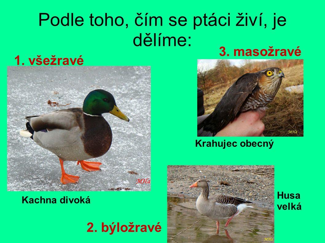 Podle toho, čím se ptáci živí, je dělíme: 1. všežravé 2. býložravé 3. masožravé Kachna divoká Husa velká Krahujec obecný