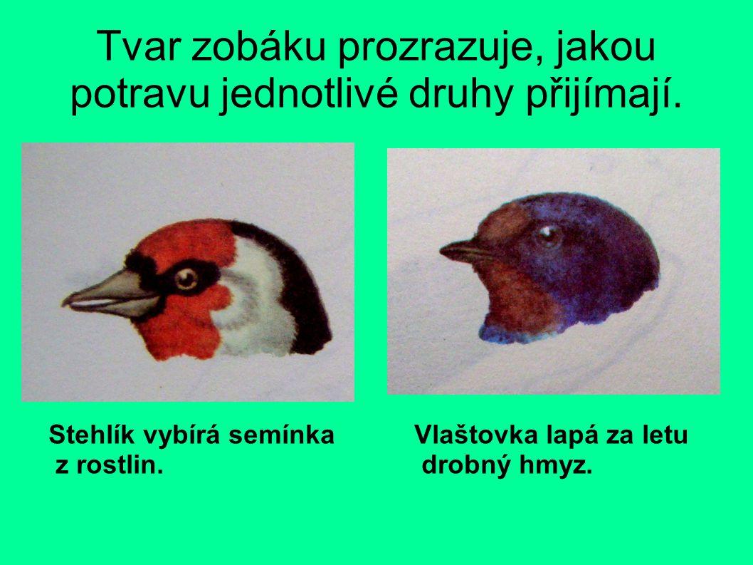 Tvar zobáku prozrazuje, jakou potravu jednotlivé druhy přijímají. Stehlík vybírá semínka z rostlin. Vlaštovka lapá za letu drobný hmyz.