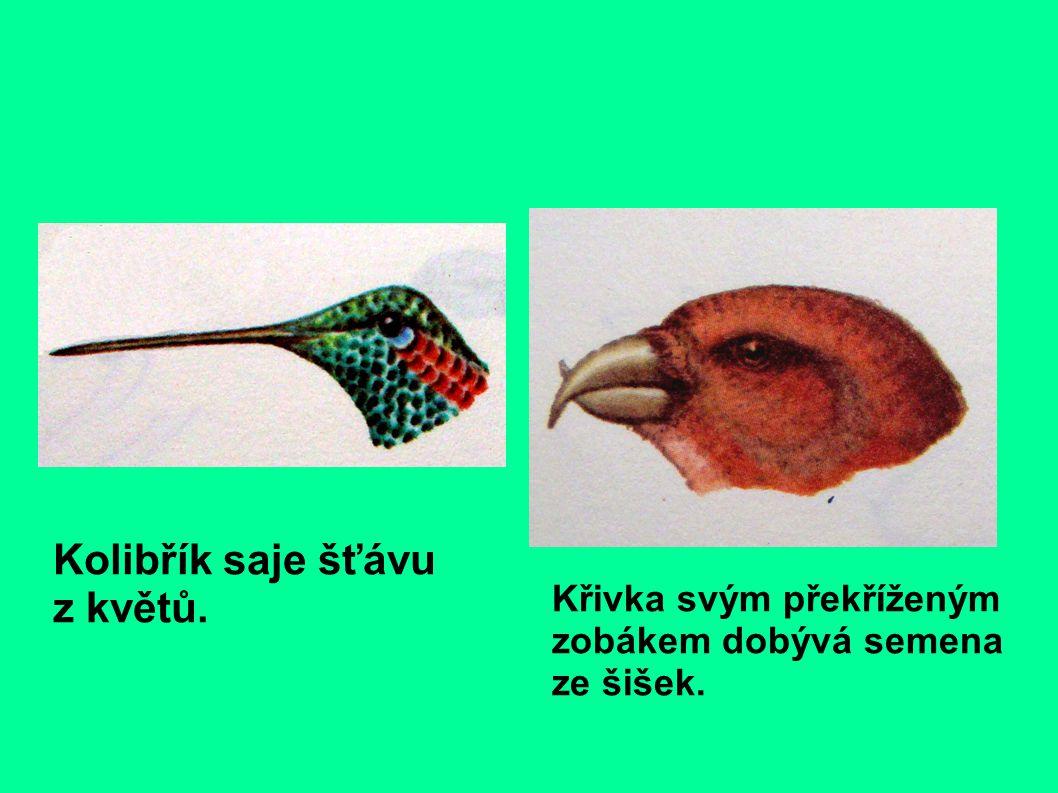 Kolibřík saje šťávu z květů. Křivka svým překříženým zobákem dobývá semena ze šišek.