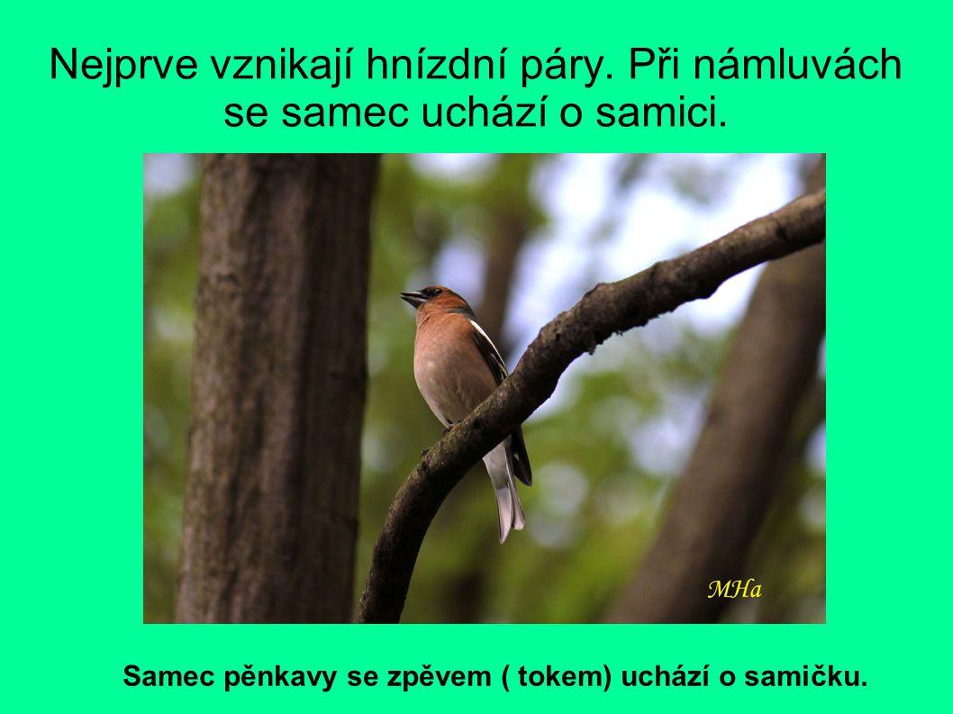 Nejprve vznikají hnízdní páry. Při námluvách se samec uchází o samici. Samec pěnkavy se zpěvem ( tokem) uchází o samičku.