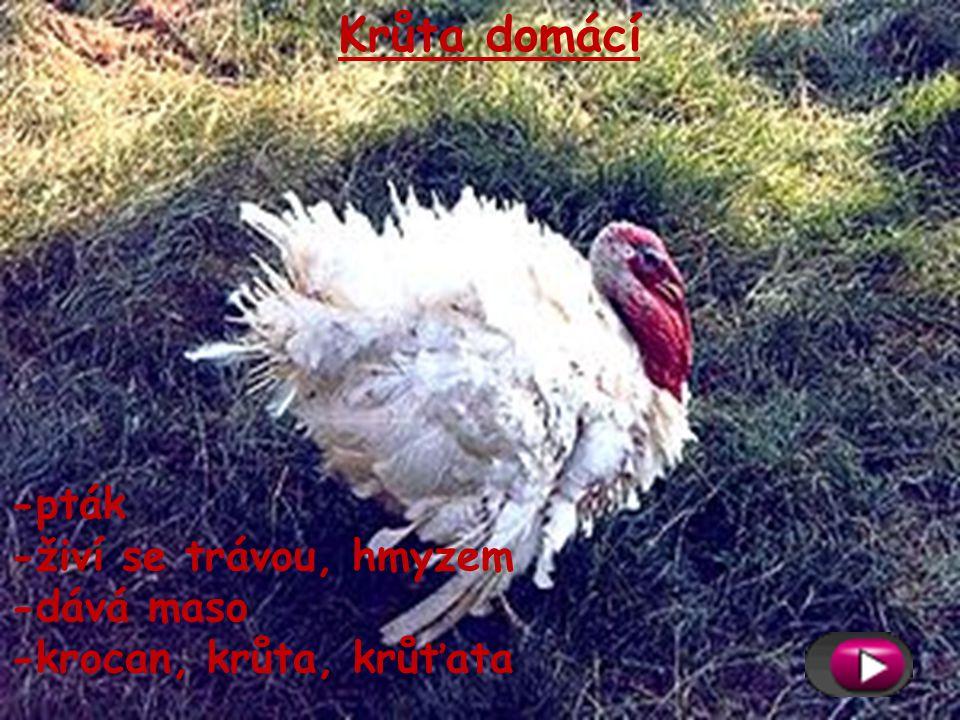 Kachna domácí -vodní pták -živí se drobnými vodními živočichy, trávou -dává peří,maso -kachna, kačer, kachňata