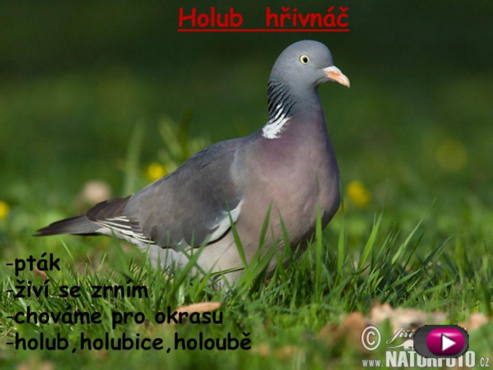 Krůta domácí -pták -živí se trávou, hmyzem -dává maso -krocan, krůta, krůťata