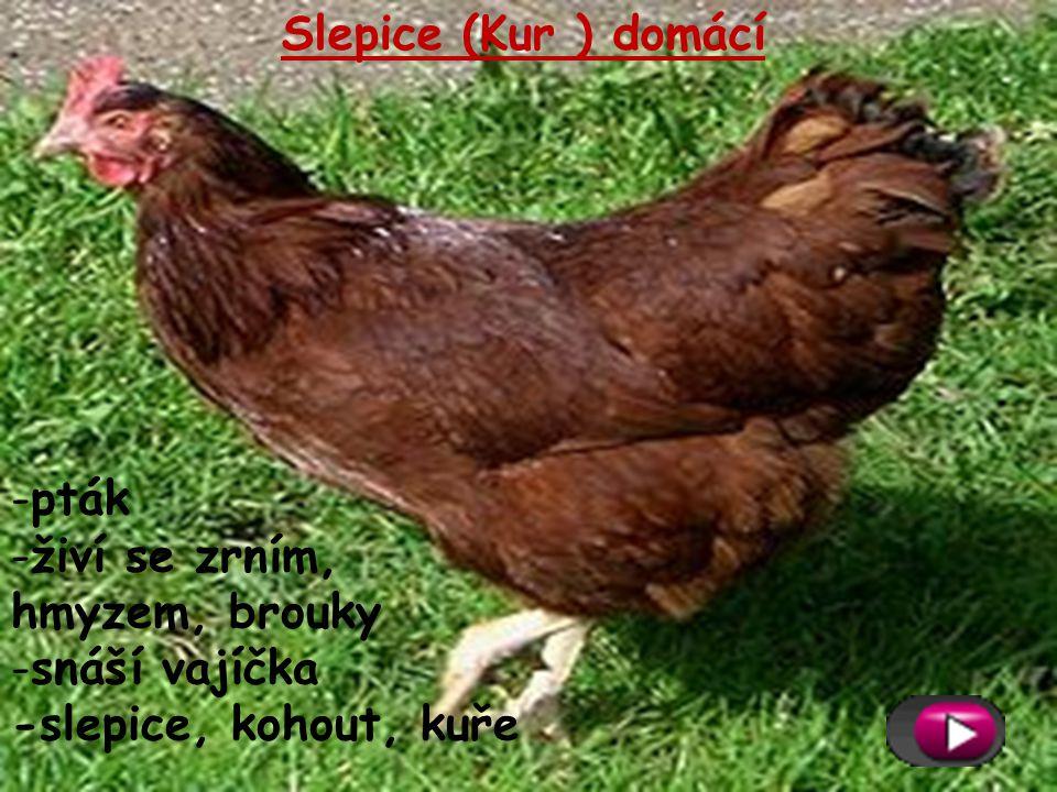 Slepice (Kur ) domácí -pták -živí se zrním, hmyzem, brouky -snáší vajíčka -slepice, kohout, kuře
