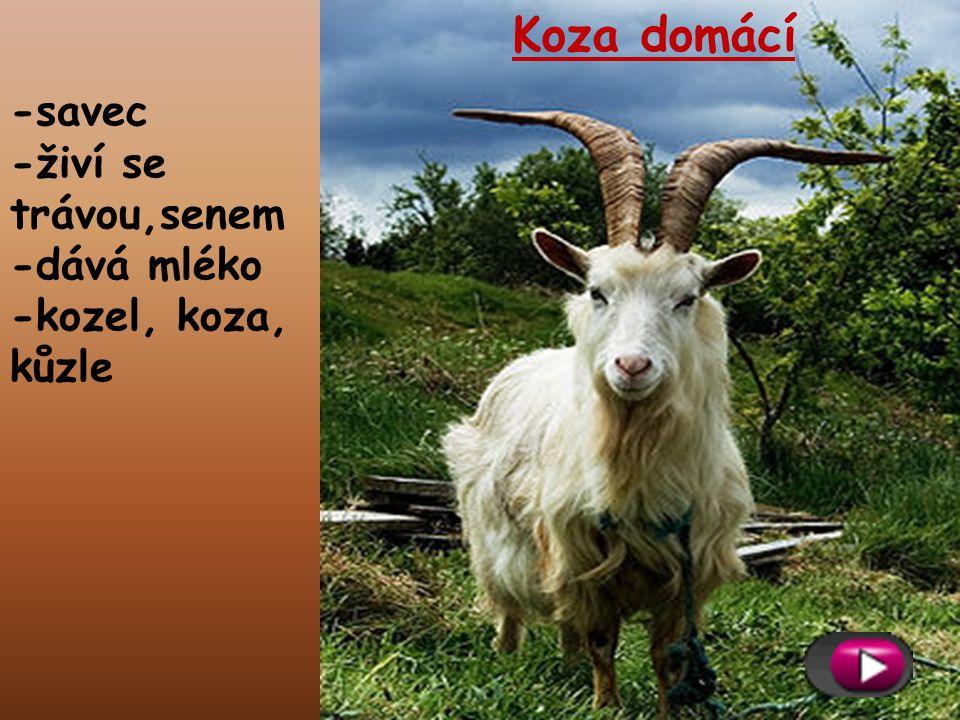 -savec -živí se trávou,senem -dává mléko -kozel, koza, kůzle Koza domácí