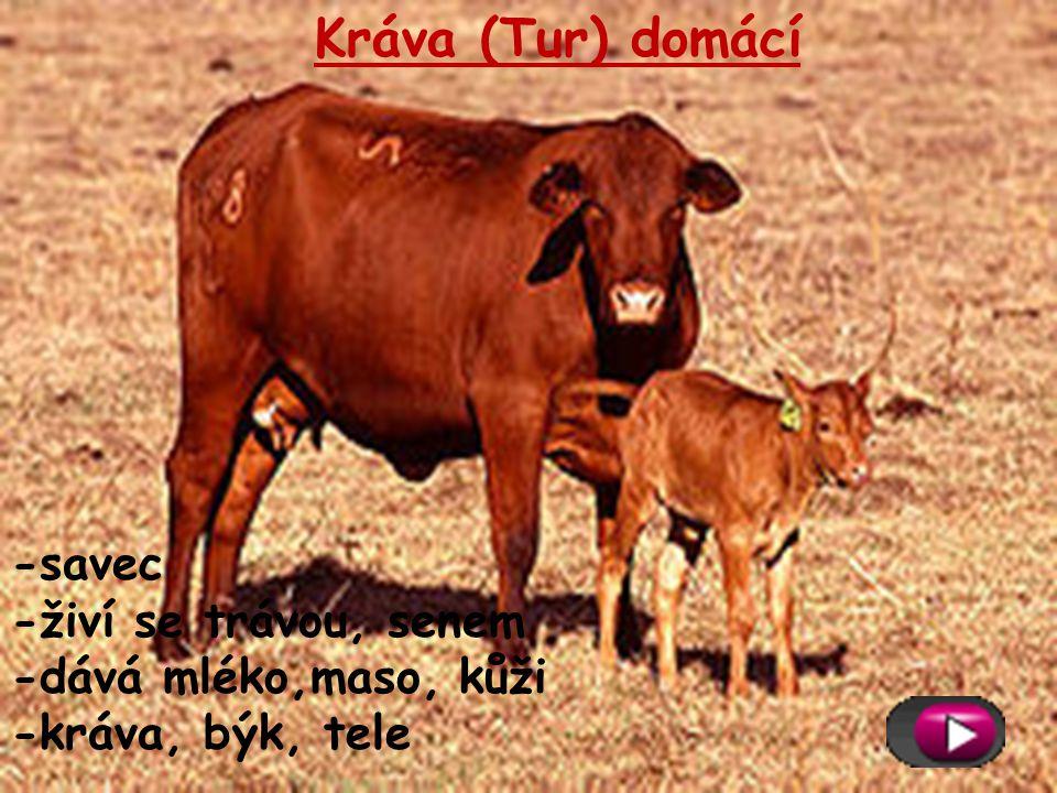 Kráva (Tur) domácí -savec -živí se trávou, senem -dává mléko,maso, kůži -kráva, býk, tele