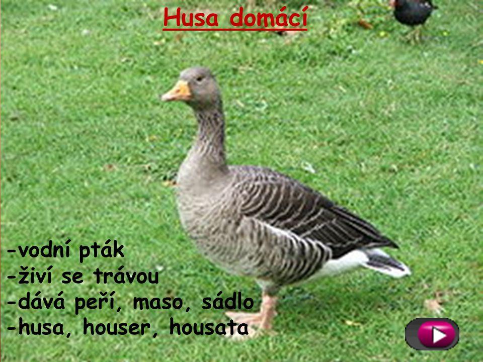 Husa domácí -vodní pták -živí se trávou -dává peří, maso, sádlo -husa, houser, housata