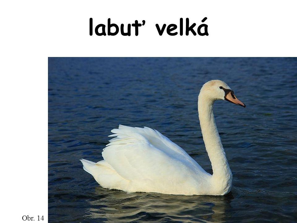 labuť velká Obr. 14