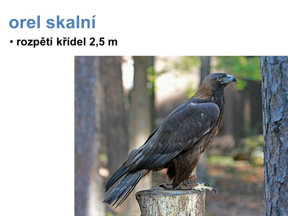orel skalní rozpětí křídel 2,5 m