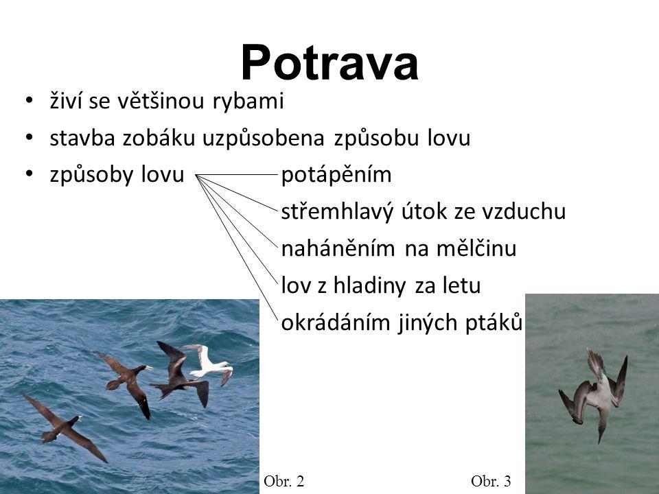 Potrava živí se většinou rybami stavba zobáku uzpůsobena způsobu lovu způsoby lovu potápěním střemhlavý útok ze vzduchu naháněním na mělčinu lov z hla